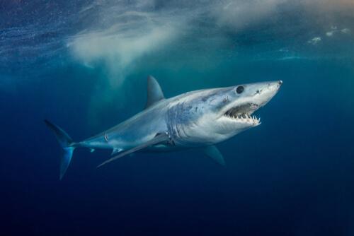 Tiburón mako: velocidad