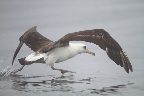 Albatros dorsioscuro norteño