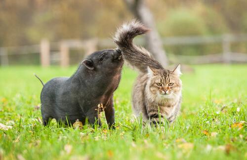 Синдром свиного кота: что это за аллергия