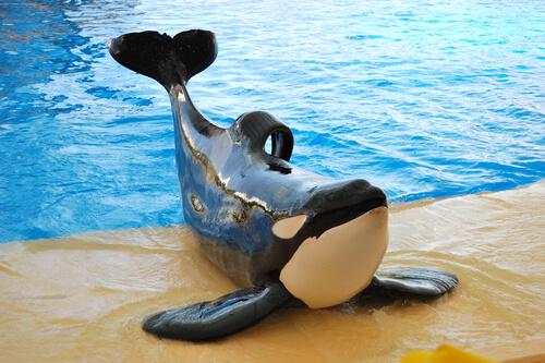 Orcas en cautiverio: ¿por qué tienen su aleta dorsal doblada?