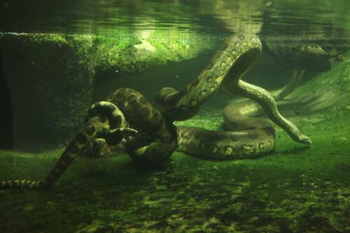 Alimentación de las anacondas verdes