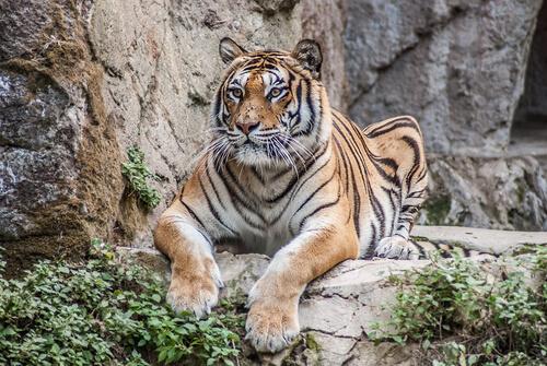 Ataques de tigres a humanos, pocos pero dramáticos