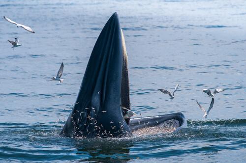 La alimentación de las ballenas