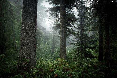 Bosque de taiga