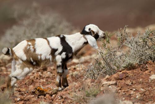 Las cabras de Fuerteventura