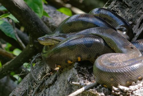 Las anacondas verdes y su participación en el canibalismo