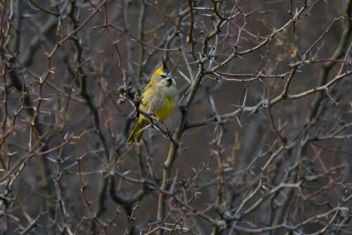 Cardenal amarillo entre las ramas