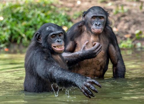 Chimpancé pigmeo apareándose
