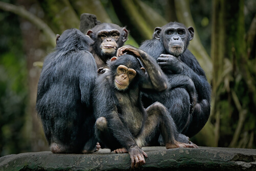 Chimpancé pigmeo: comportamiento y alimentación