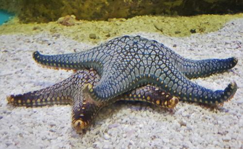 Ciclo de vida de la estrella de mar