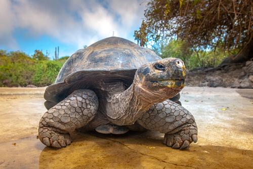 Ciclo de vida de las tortugas Galápagos