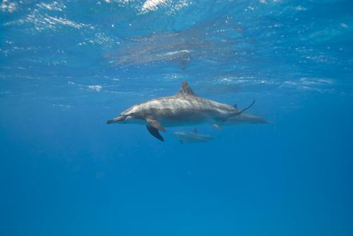 Descubre cómo duermen los delfines