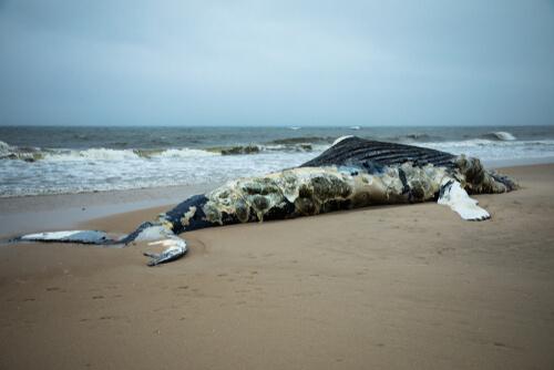 Cómo explotan las ballenas muertas
