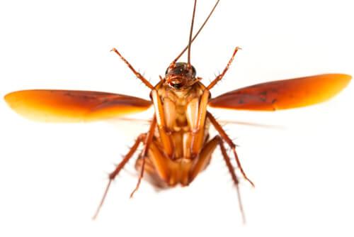 Cómo vuelan las cucarachas