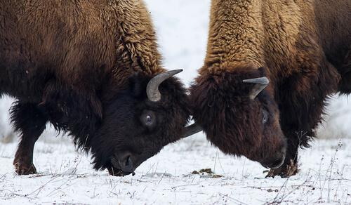 Comportamiento del bisonte americano: reproducción