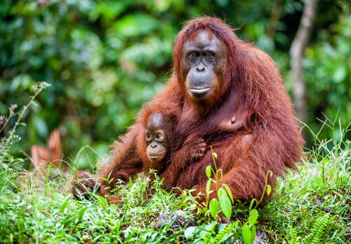 Conservación del orangután de Borneo