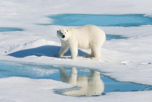 La contaminación secreta de los osos polares