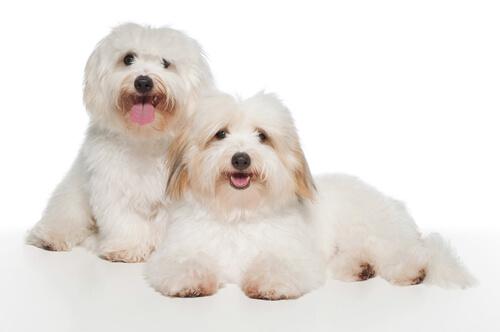 Вы знаете собаку породы Котон де Тулеар?