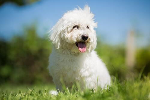 ¿Conoces la raza de perro cotón de Tulear?