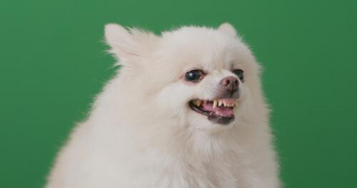 Когда зубы вашей собаки выходят?