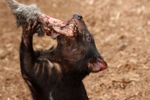 Demonio de Tasmania: alimentación