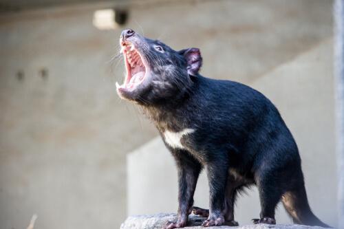 Demonio de Tasmania: comportamiento
