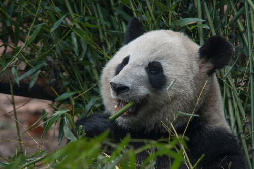 La dieta del oso panda: no siempre fue bambú