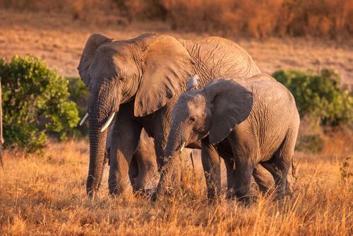 4 comportamientos curiosos de los elefantes en libertad