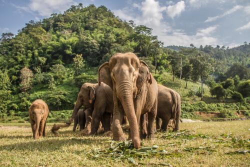¿Dónde viven los elefantes asiáticos y africanos?