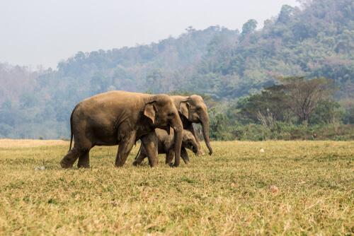 Dónde viven los elefantes asiáticos
