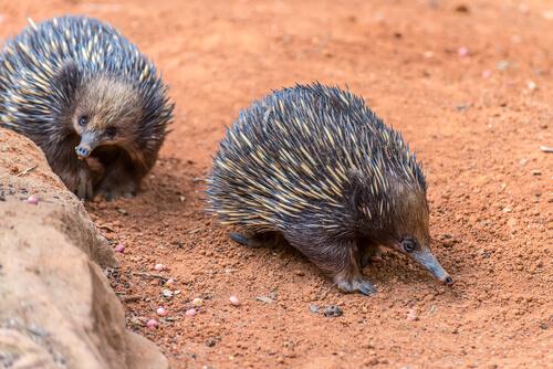 El equidna de hocico corto o australiano