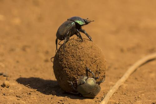 Escarabajo pelotero: vía láctea