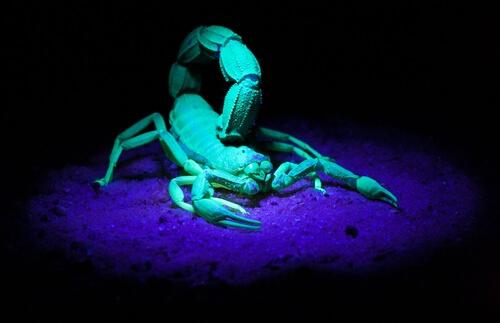 El escorpión que brilla en la oscuridad