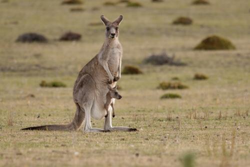 Especies endémicas de Australia: canguro
