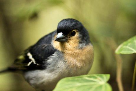 Especies endémicas de Canarias: pinzón azul