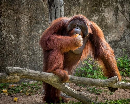 Estudios sobre orangutanes