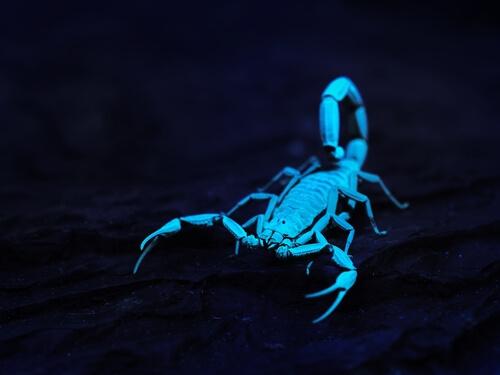 Fluorescencia en escorpiones