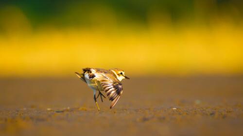 Frailecillo blanco: hábitat