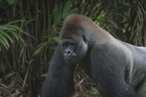 Gorila de montaña (Gorilla beringei beringei)