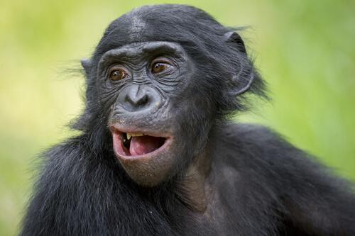 Hábitat del chimpancé pigmeo