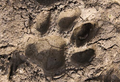 Identificación de huellas de animales: huellas y signos