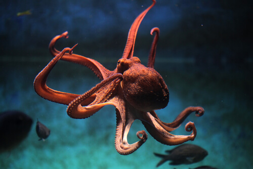 An octopus swimming in the marine reserves.