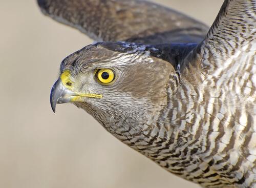 Por qué la vista es su sentido más desarrollado en las aves rapaces