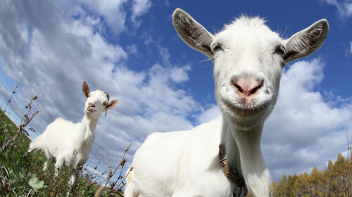 Las cabras prefieren personas felices