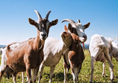 Las cabras reconocen a la gente feliz