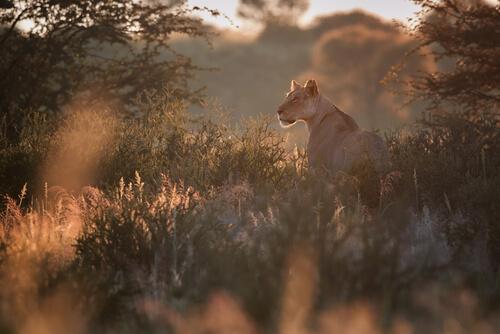 León de Namibia