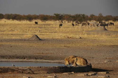 León del desierto