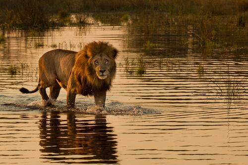 Los leones que cazan en el mar