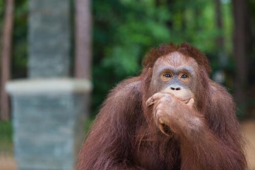 Los orangutanes reinventan el anzuelo
