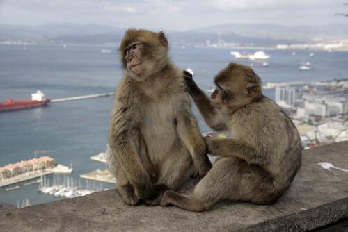 Macaco de Berbería (Macaca sylvanus)